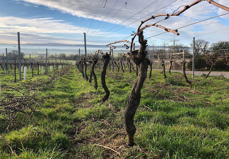 Winter pruning in an English vineyard